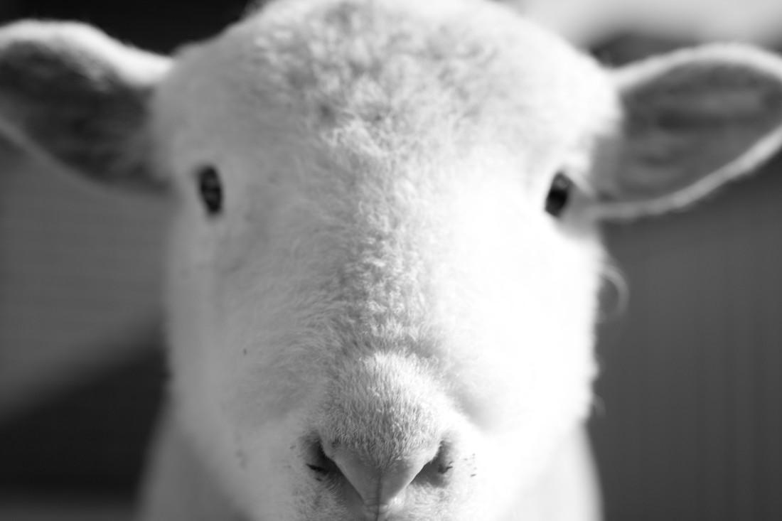 Maxy the lamb-4863- Farm